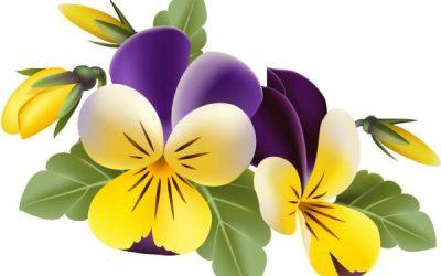 Trei frati patati (Viola tricolor)